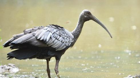 Birding in Cambodia