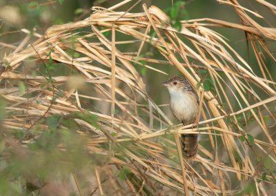 Rufous-rumped Grass-babbler