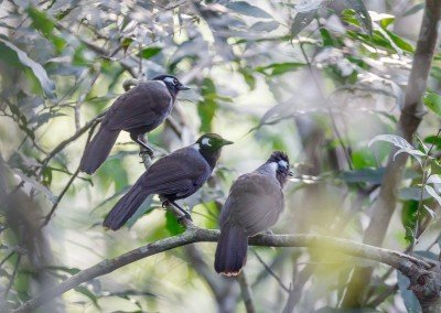 Aural Mountains Cambodian Laughingthrush Tour