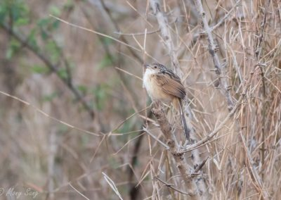 Pursat Chinese Grassbird Tour