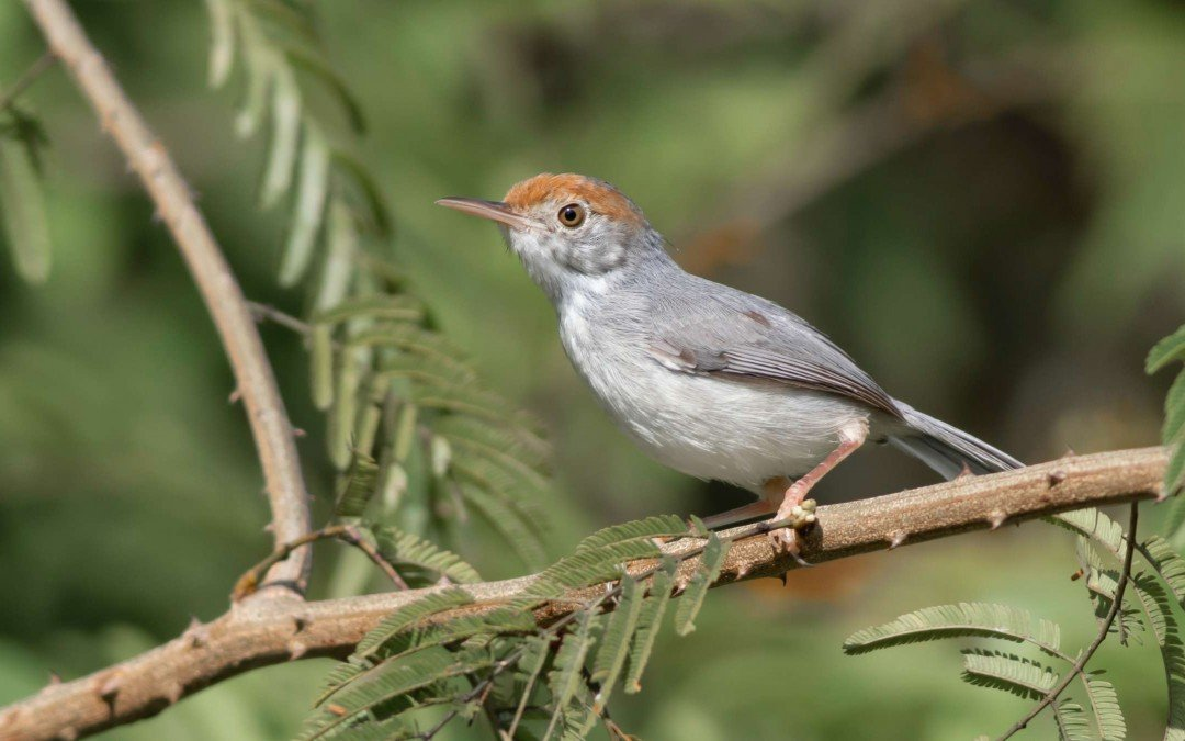 Top 10 birds to see around Phnom Penh