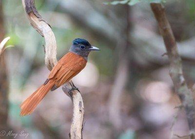 Indochinese Paradise Flycatcher