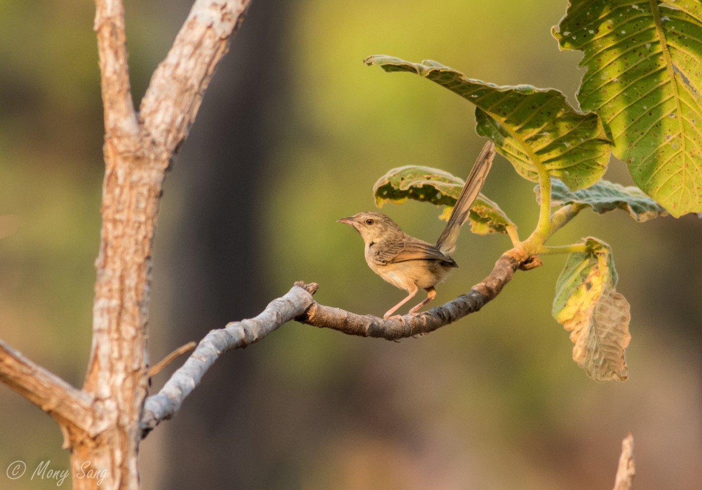 Brown Shrike @ SVC Mony Sang