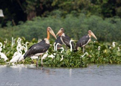 Tonle Sap Waterbirds Tour