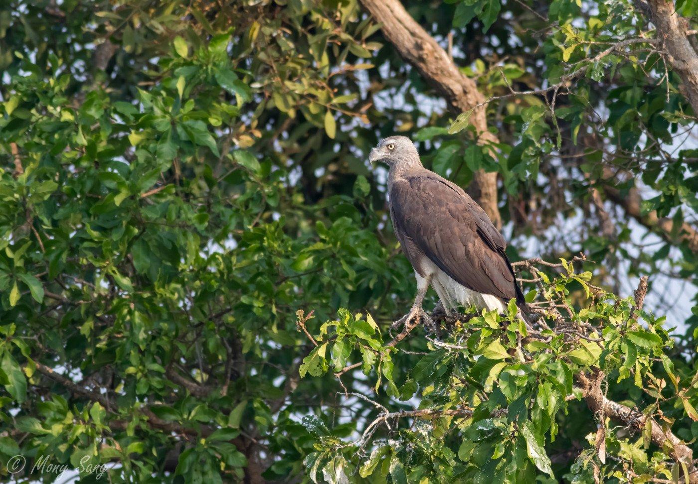 Long-tailed broadbill_Bokor_Sok Panhavuth_26 Apr 2018