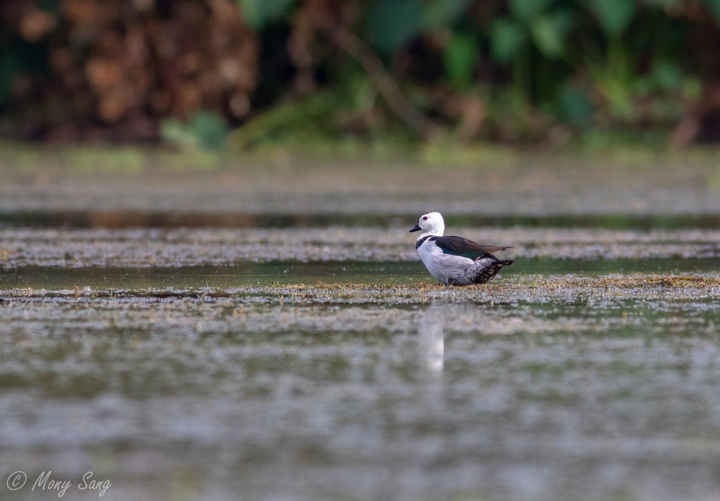 Cotton Pygmy Goose - Ang Trapaeng Thmor -