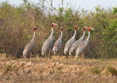 Top Ten Birds to see around Ang Trapaeng Thmor (ATT)