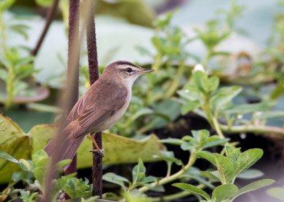 Black-browed Reed-Warbler
