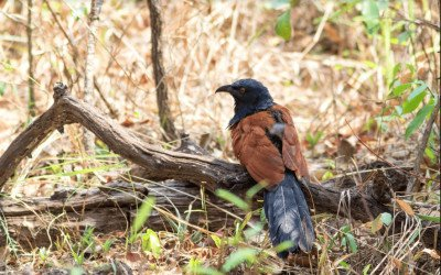 Top 10 Birds to see around Phnom Krom