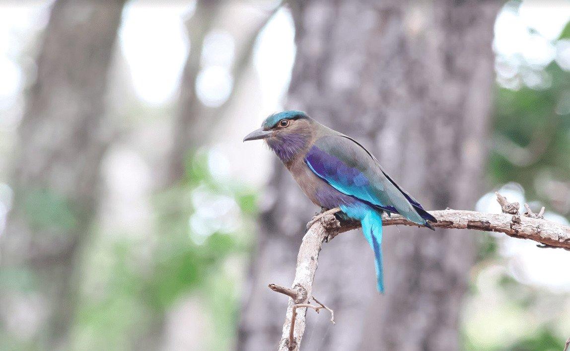 Blue-winged Leafbird_Bokor_Sok Panhavuth_26 Apr 2018