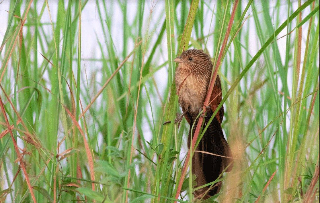 Barred Cuckoo-Dove_Bokor_Sok Panhavuth_17 Apr 2918