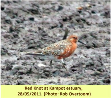 From the Archives: Cambodia Bird Report May-June 2011