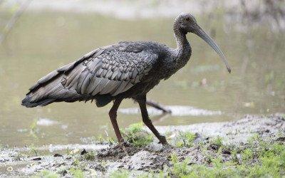 7 Rarest Birds in Cambodia